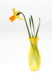 Narzisse in der Vase