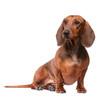 Dachshund Dog isolated over white background - 31448871