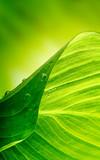 Fototapety green leaf background