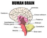 Fototapety Human Brain