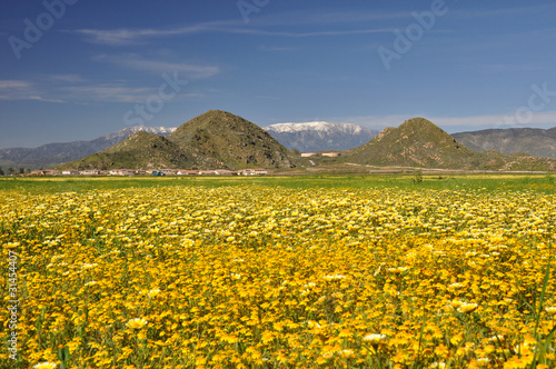Southern California wildflowers