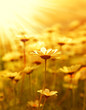 Daisy flower field over sunset