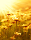Daisy flower field over sunset - 31459424
