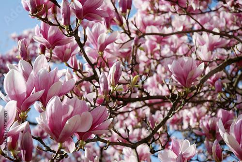 magnolien baum bl hend stockfotos und lizenzfreie bilder. Black Bedroom Furniture Sets. Home Design Ideas