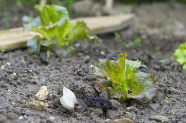 salade,laitue,batavia,plants,jardinage