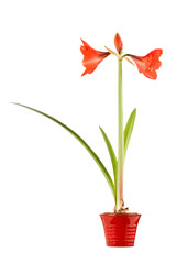 Amaryllis in pot