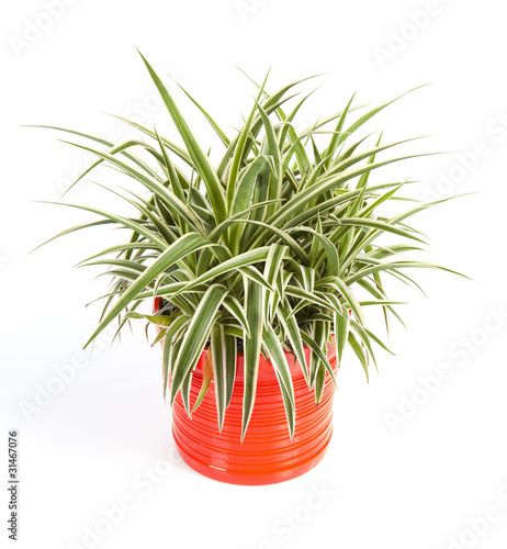 chlorophytum dans un pot orange déco