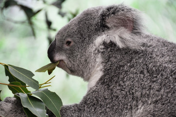 Koala eating