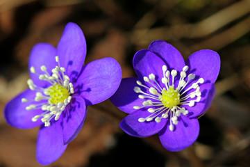 Blue Flowers of Hepatica nobilis