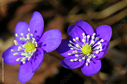 Blue Flowers of Hepatica nobilis