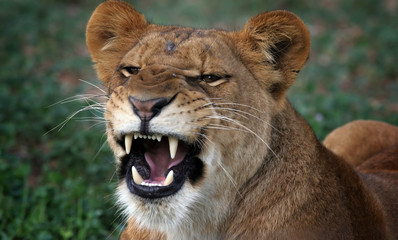 growling Lioness