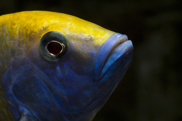 Nimbochromis venustus male Close up