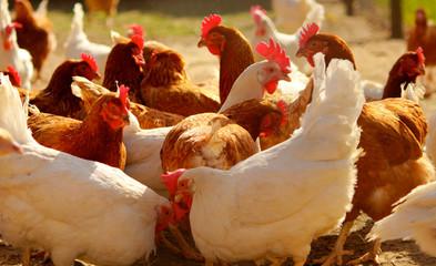 Hühner - Freilandhaltung