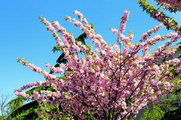 albero di fiori rosa in primavera
