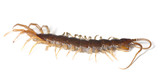 Centipede isolated on white background, extreme close up