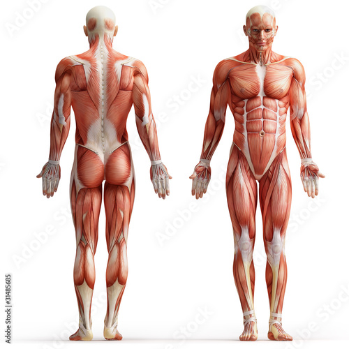 Leinwandbild Motiv anatomy, muscles