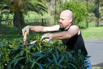 Senior man gardener cut a Bush