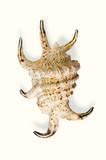 lambis scorpio poster