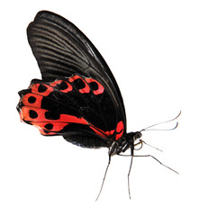 Red and black butterfly isolated on white background