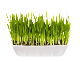 plastic container with young green sprouts,