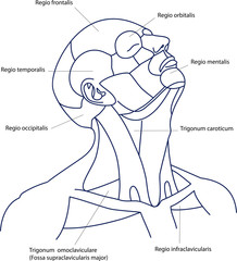 The areas of the human head and neck