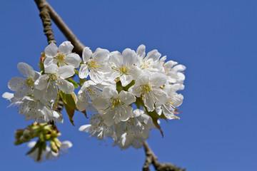 Kirschblüte, Prunus cerasus