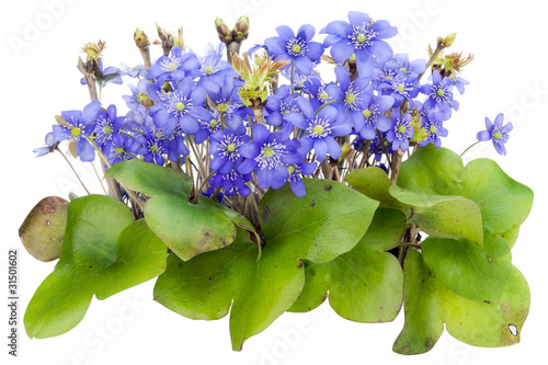 Bush of real first springs flowers isolated