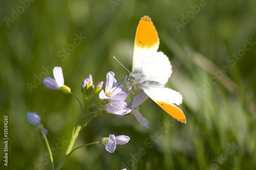 ein Aurorafalter auf der Frühlingswiese
