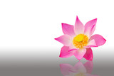 Pink water lily on the white background