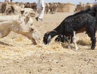 Dromedary camel and goat at a market