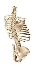 human torso skeletal system