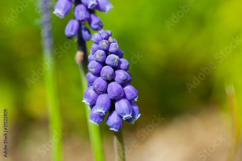 flower(Rosmarinus_officinalis)_06