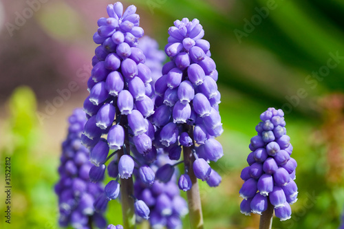 flower(Rosmarinus_officinalis)_05