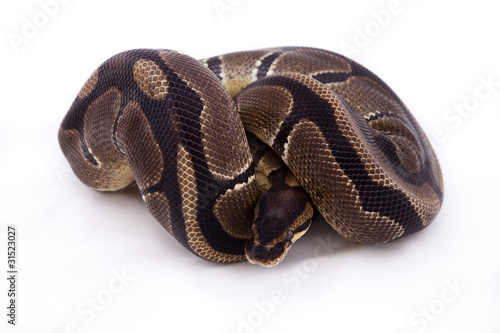 Royal or Ball python on white background