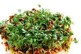 sprouts of watercress