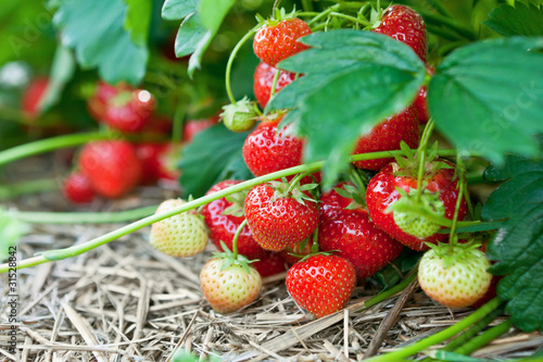 Closeup of fresh organic strawberries