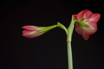 Back side of amaryllidaceae flower