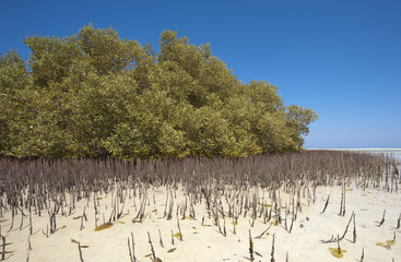 White mangrove tree with roots in lagoon
