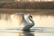 Swan spreads its wings at dawn