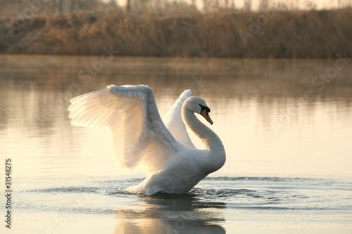Foto op Plexiglas Zwaan Swan spreads its wings at dawn