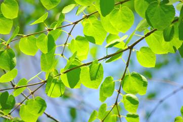 新緑の丸い葉