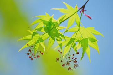 新緑のモミジの葉と花