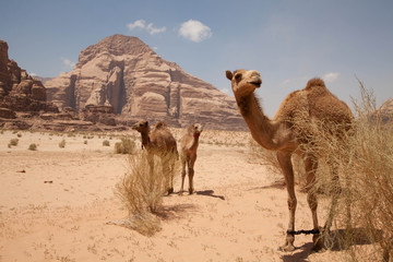 Dromedarfamilie im Wadi Rum