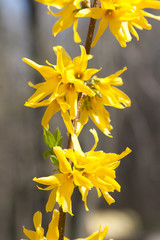 Blooming Forsythia-Forthysia Flowers