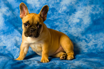 French bulldog puppy on a blue background