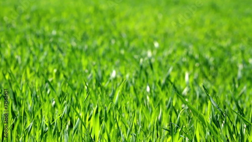 lush green grass blowing in the wind