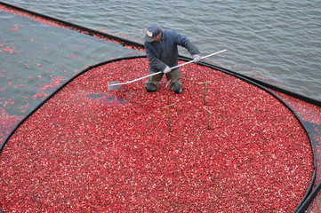 Man working the bogs harvesting cranberries
