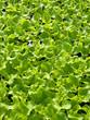 Blattsalat - Jungpflanzen