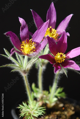 Pasque flowers in a pot