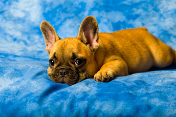 French bulldog puppy lies on a blue background